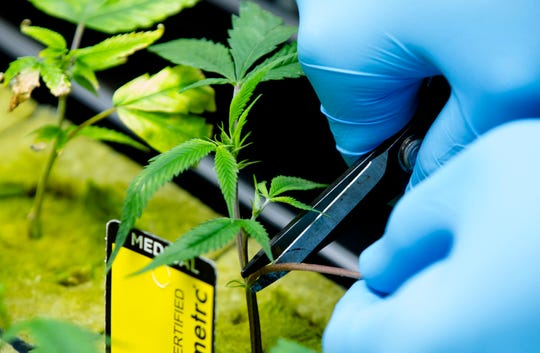 All medical marijuana plants grown in Ohio are accounted for with a bar code that follows the plant through a seed-to-sale tracking system.