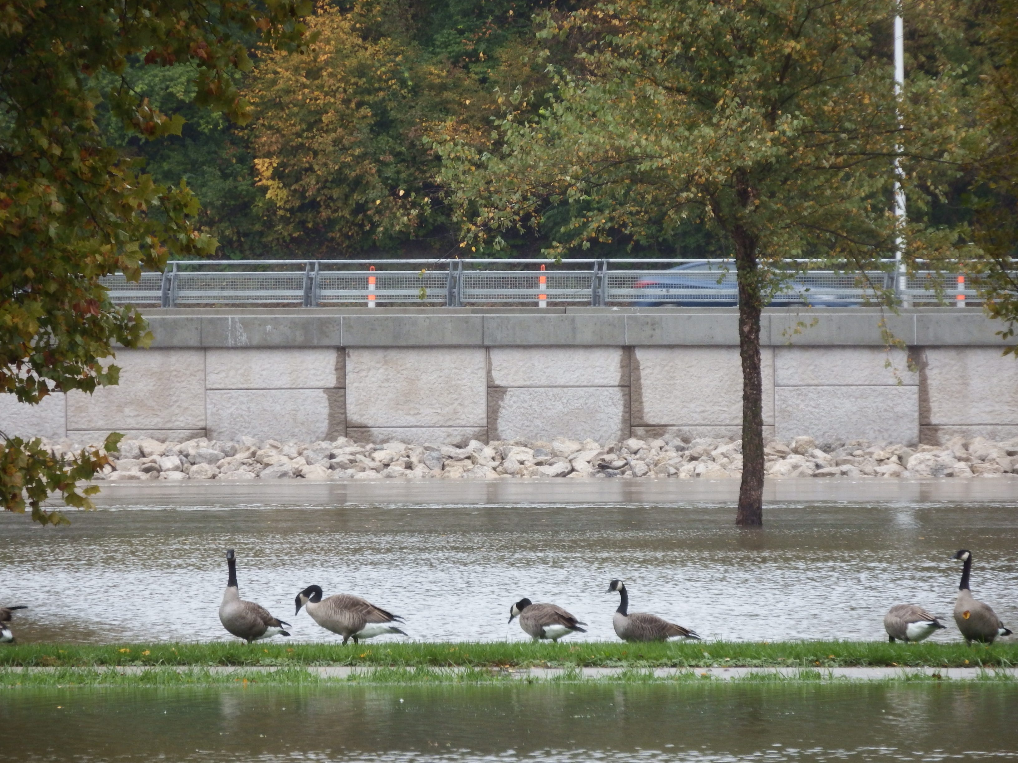 Geese don't mind the high water.