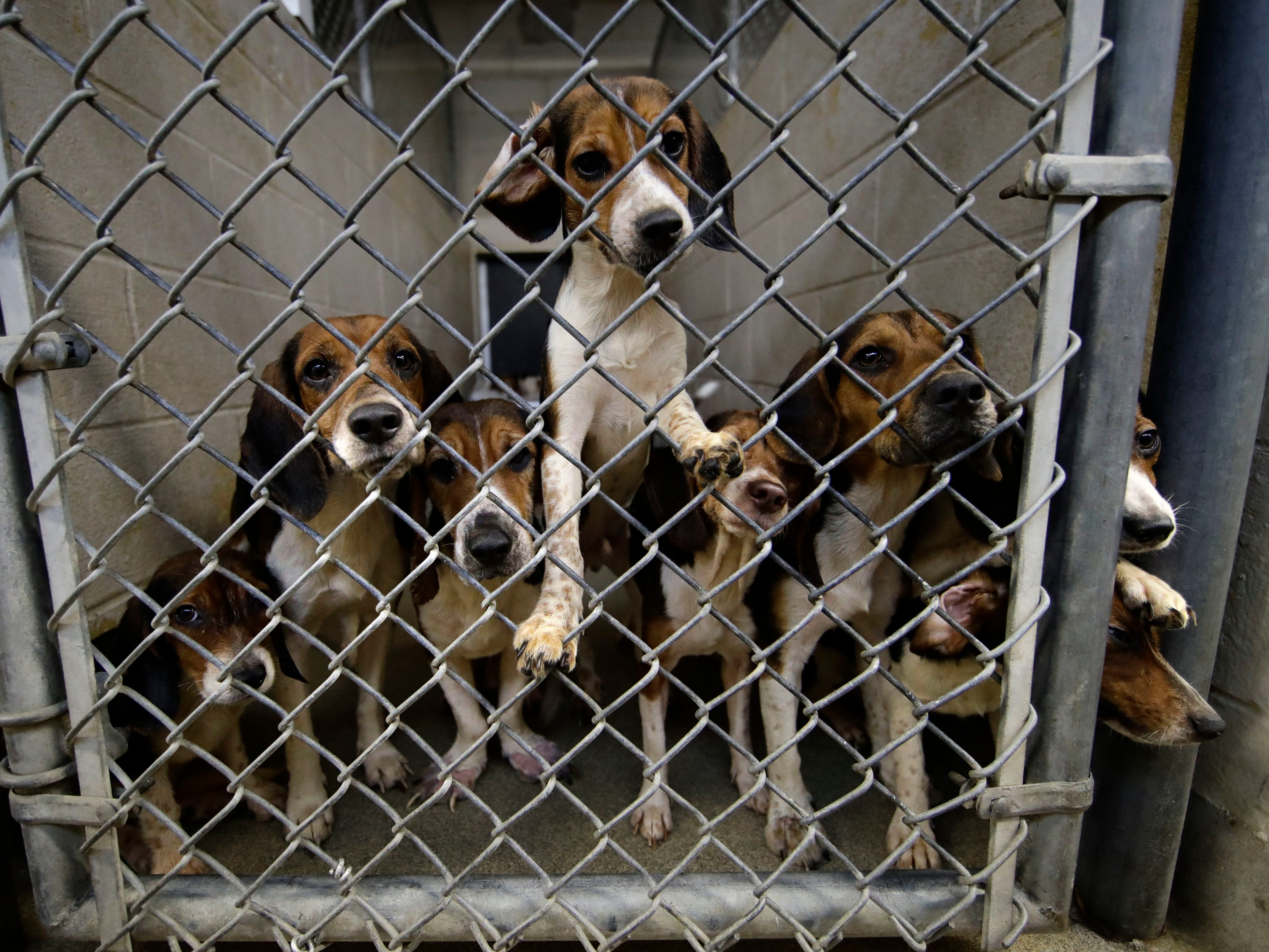 Rescued beagles peers out from their kennel at the The Lehigh County Humane Society in Allentown, Pa., Monday, Oct. 8, 2018. Animal welfare workers removed 71 beagles from a cramped house in rural Pennsylvania, where officials say a woman had been breeding them without a license before she died last month.