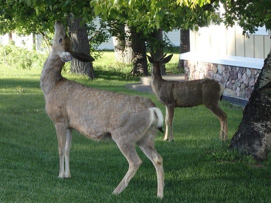 Habituated deer use yards as buffets.
