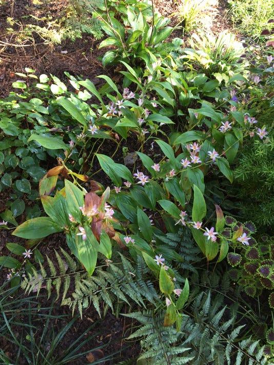 Tricyrtis Fall Flowers Perennial Img 2833