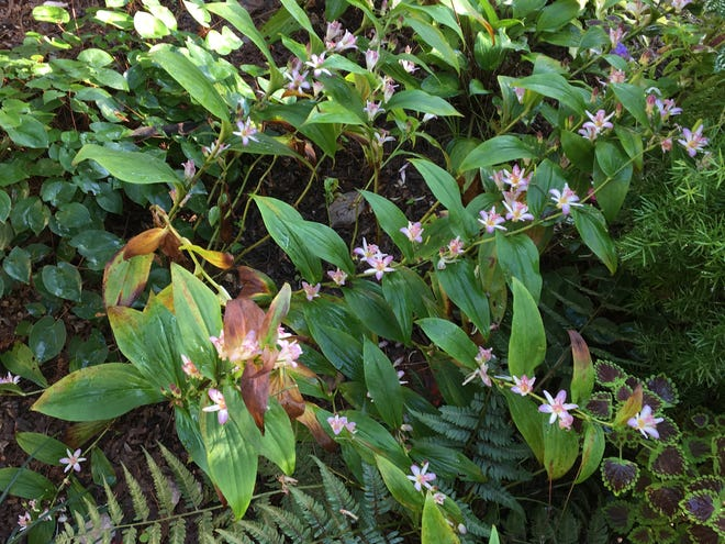 Toad lilies and other fall-blooming perennials present their show as days shorten.