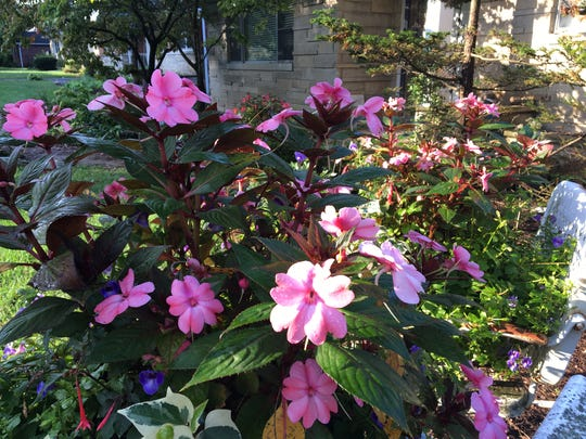 Plants in pot revive late in the season when exposed to more light as leaves fall from trees.