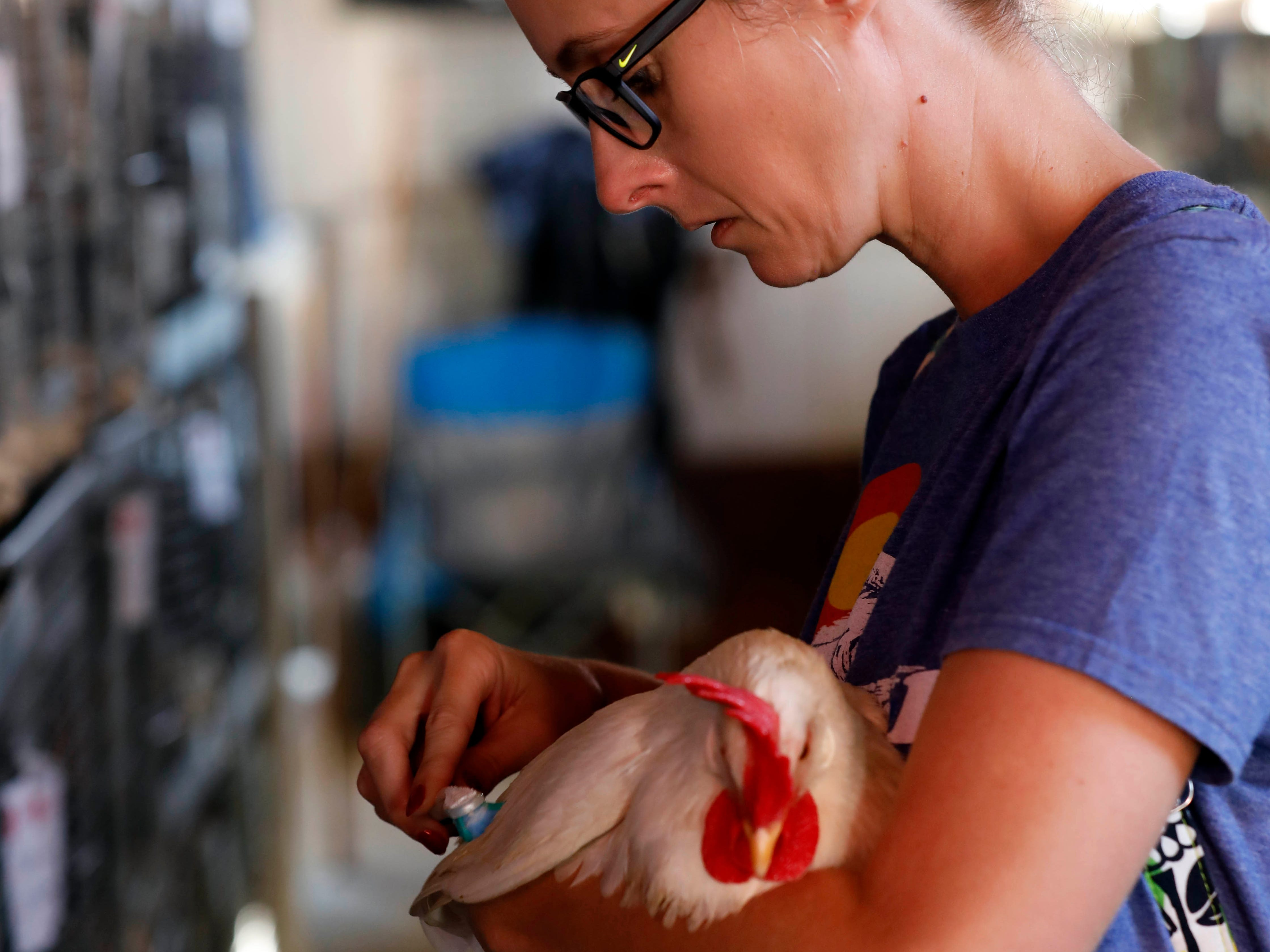 Rachel Young uses a toothbrush to brushes the feathers of her son's chicken Monday morning, Oct. 8, 2018, at the Fairfield County Fair in Lancaster.