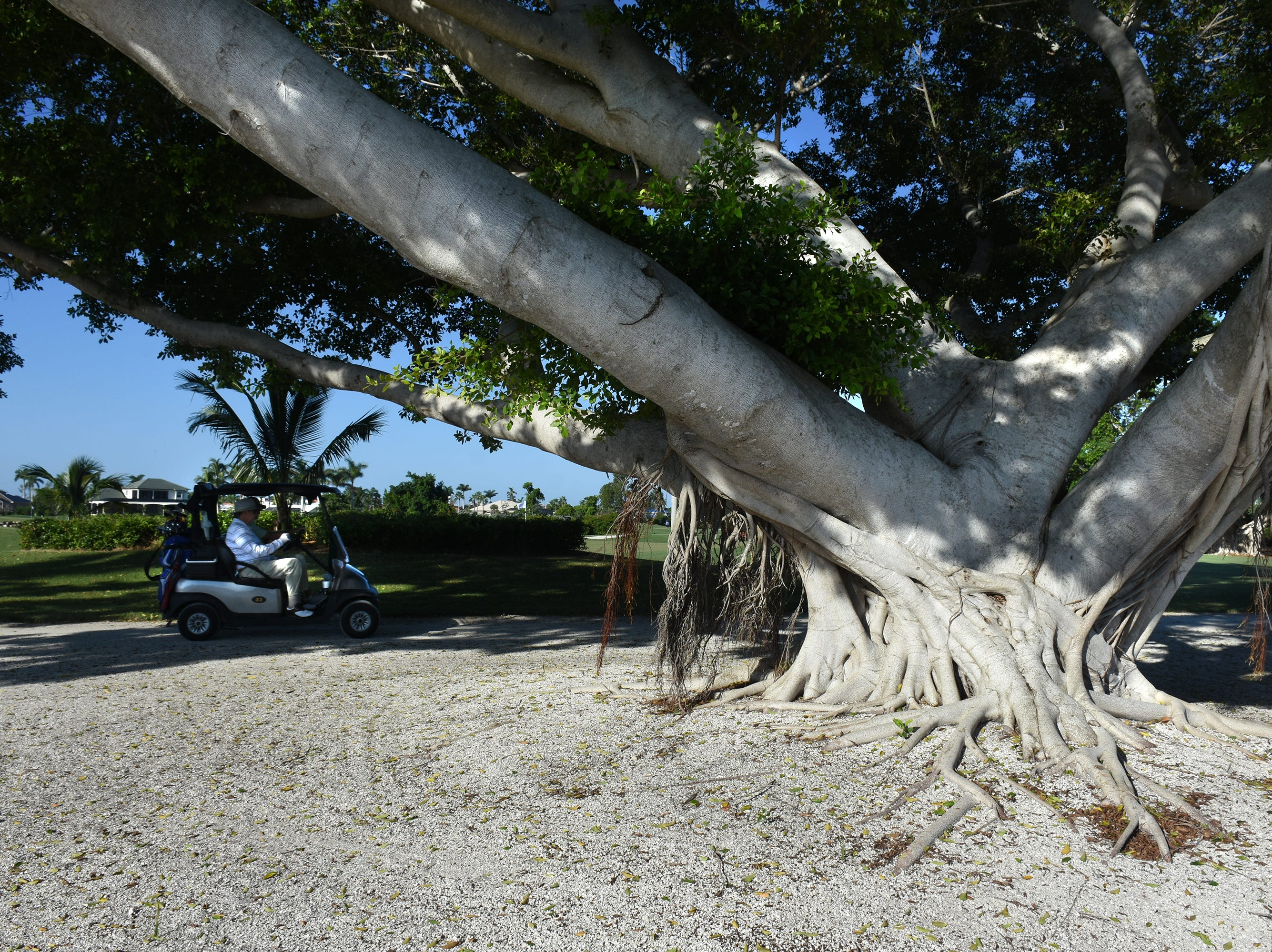 A year after Irma, the ICC layout still features massive banyan trees. The Marco Police Foundation held their annual golf event Saturday morning on the Island Country Club course.