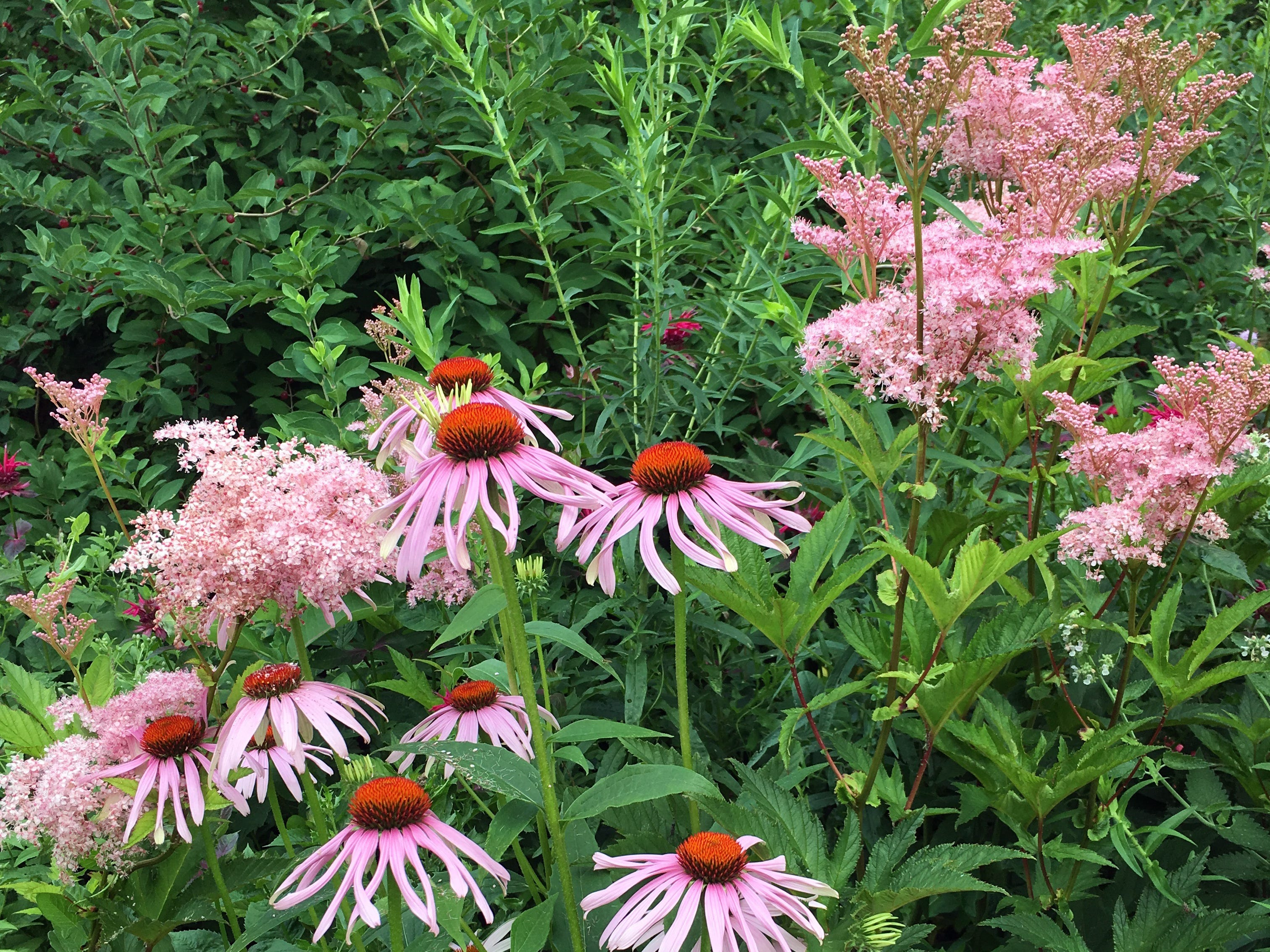 Cone flowers and Queen of the Prairie bloom in Ann Sheahan's yard.