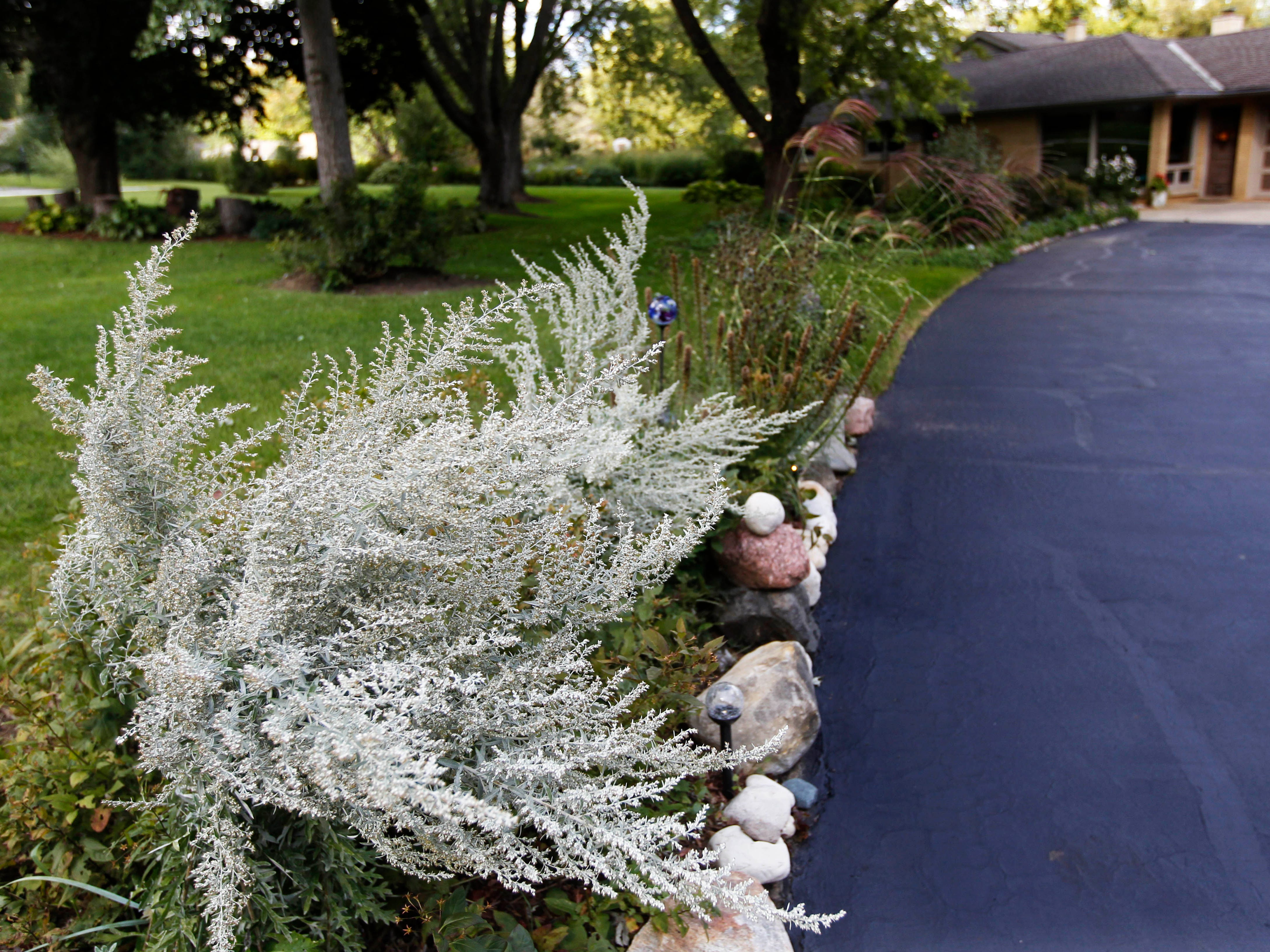 This Artemesia plant is among the many varieties that line  the driveway of the Brookfield home.