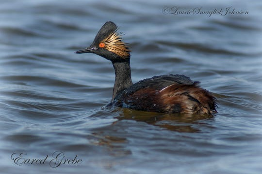The eared grebe was noted as a possible breeding species in 2018 in Wisconsin.