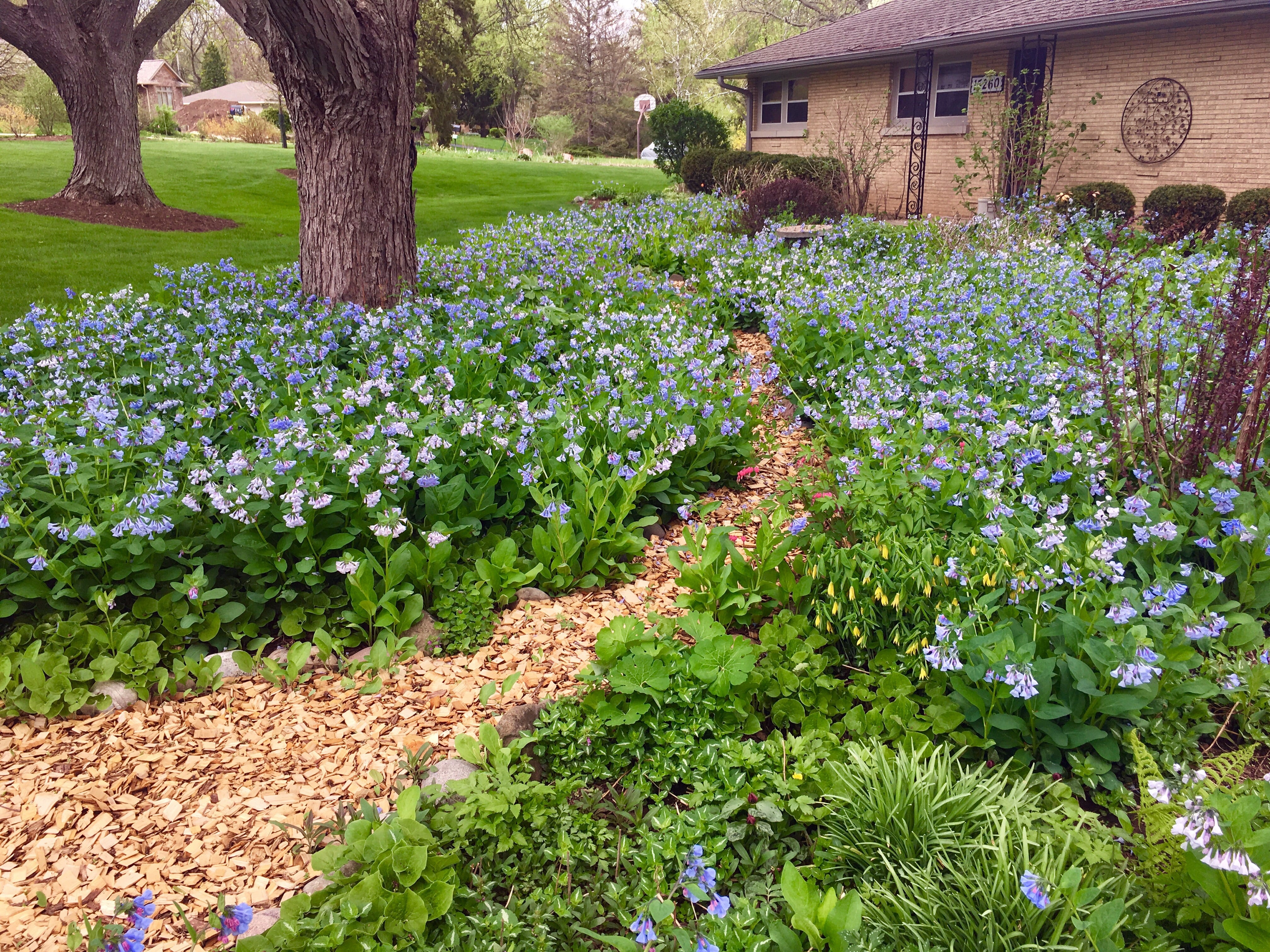 Large patches of Virginia Bluebells bloom in the yard.