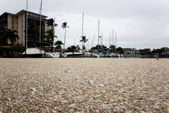 Thousands of dead fish float in the water on Monday, Oct. 8, 2018, at the Beacon House Club and Marina in Naples.