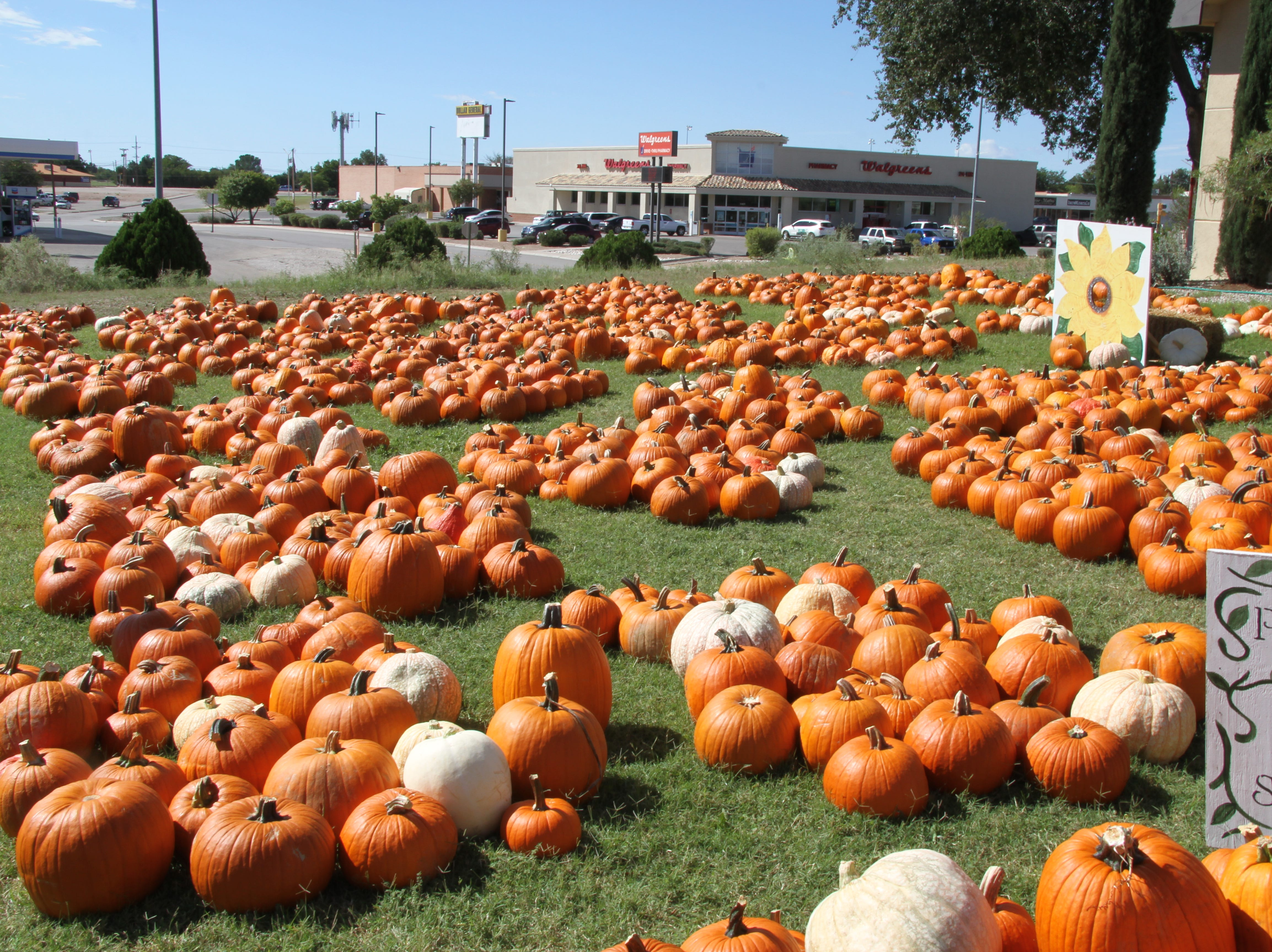 Pumpkins as far as the eye can see. St. Peter Lutheran Church in Carlsbad is hosting the 14th annual pumpkin patch. Pumpkins are priced based on size and there is no admission fee.