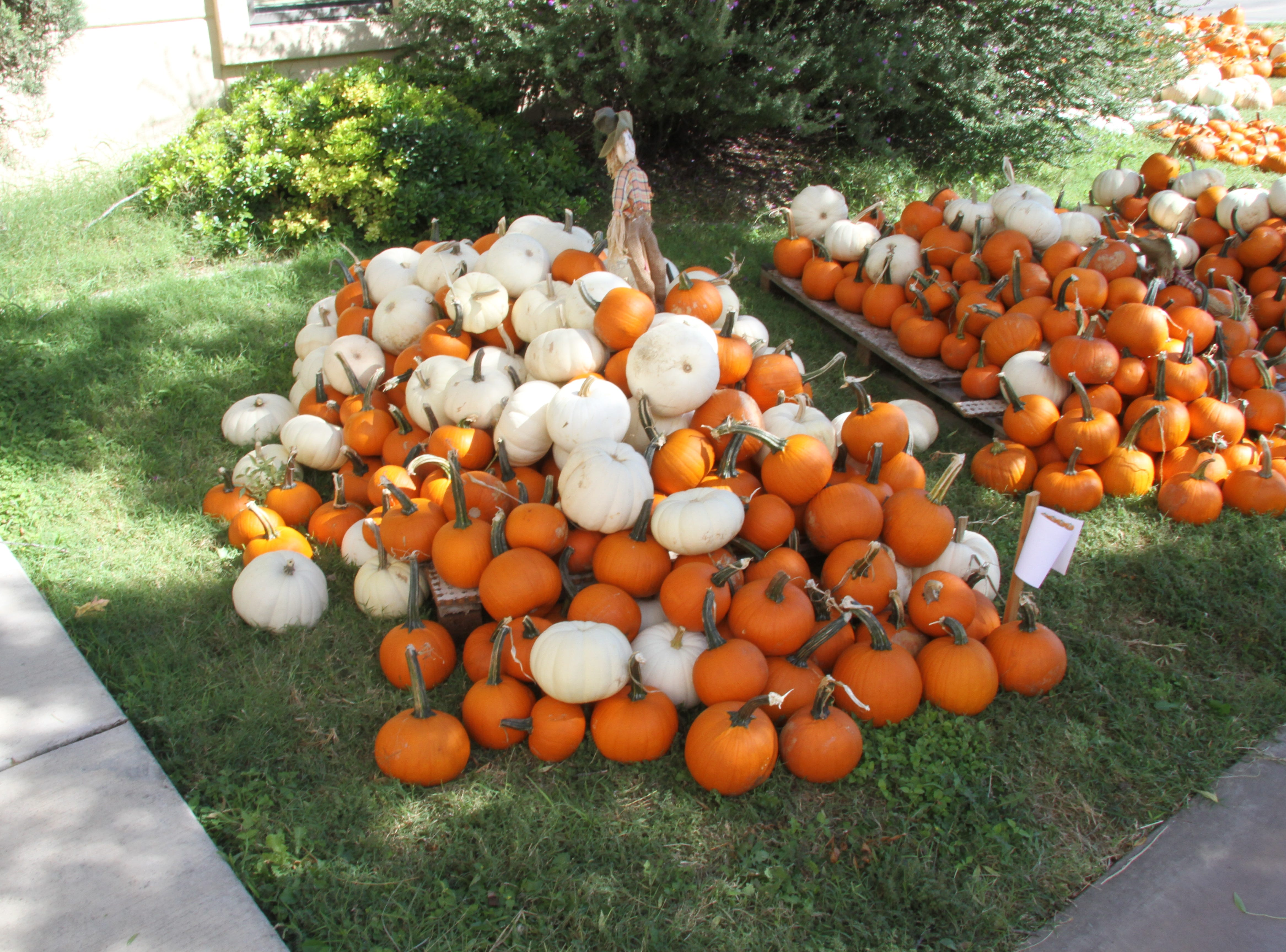 St. Peter's Lutheran Church Pumpkin Patch is back. Each year, two local non-profit organizations share the proceeds. This year's recipients include:Packs for Hunger and the Children's Advocacy Center-Buddies Program. The pumpkin patch is open daily through Oct. 31.