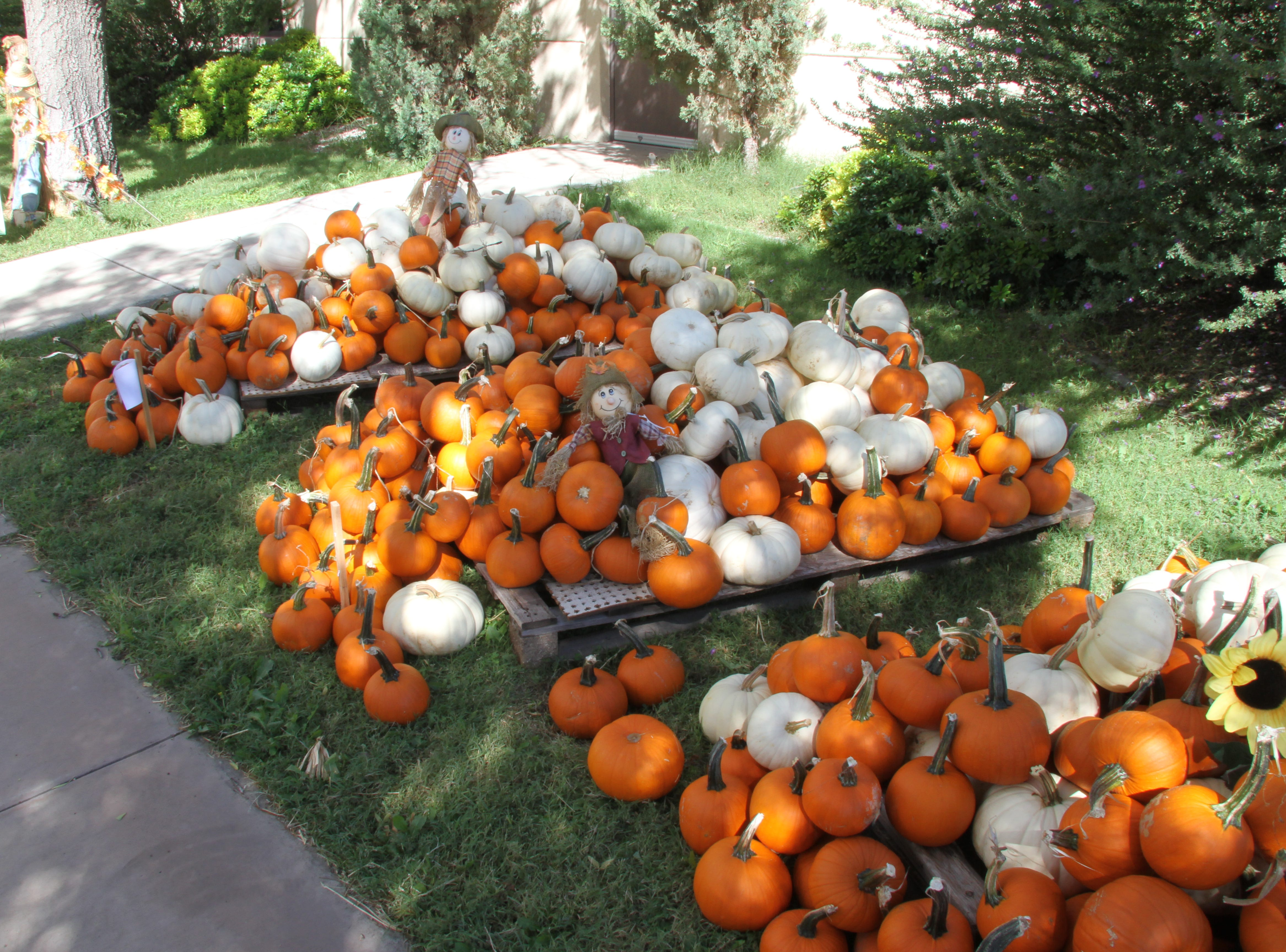 The St. Peter Lutheran Church Pumpkin Patch is back for its 14th year. The church is located at 1302 W. Pierce.