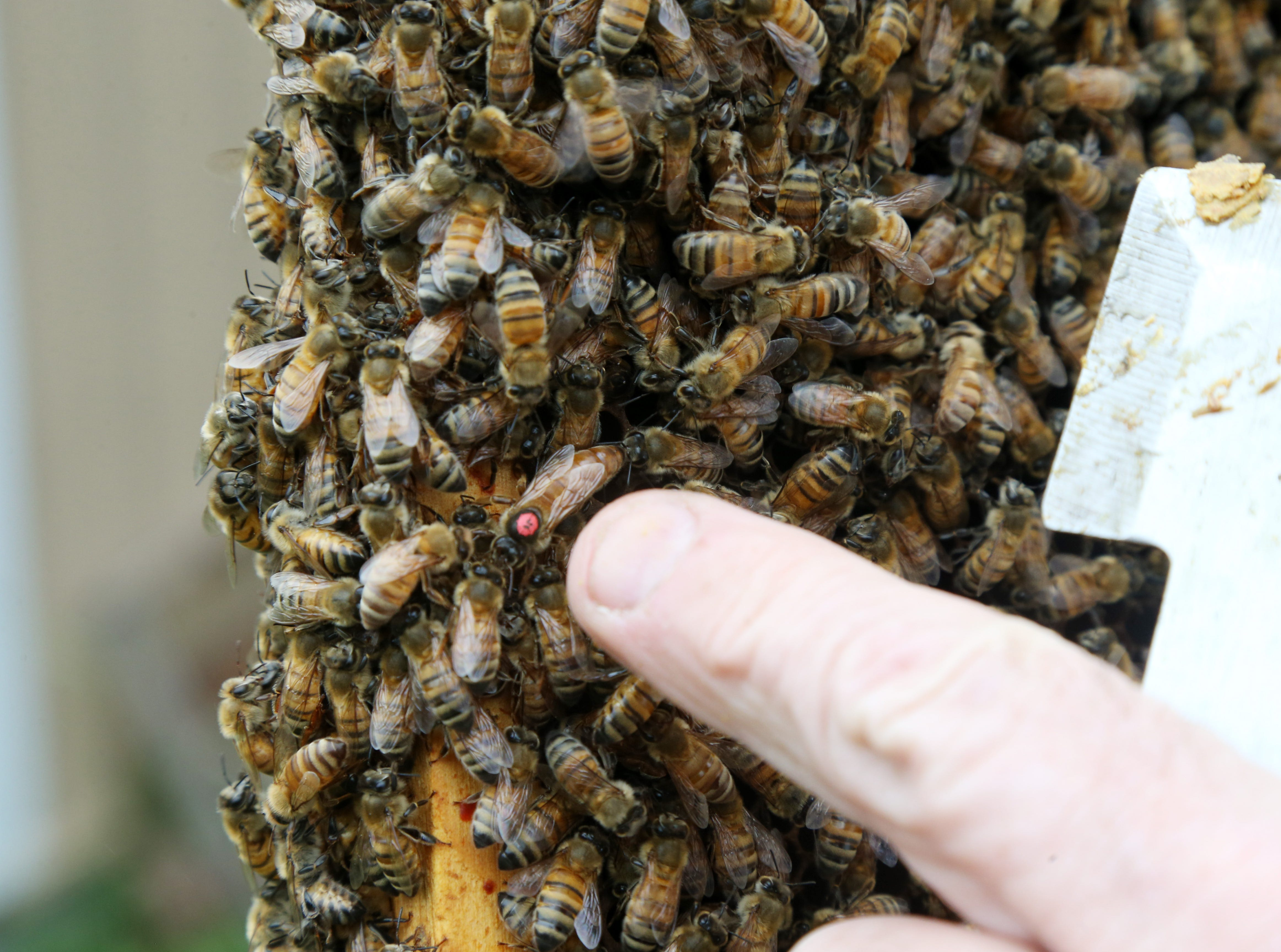 Dennis Remsburger points out the queen bee from the beehive at his home in Pleasant Valley on October 8, 2018.