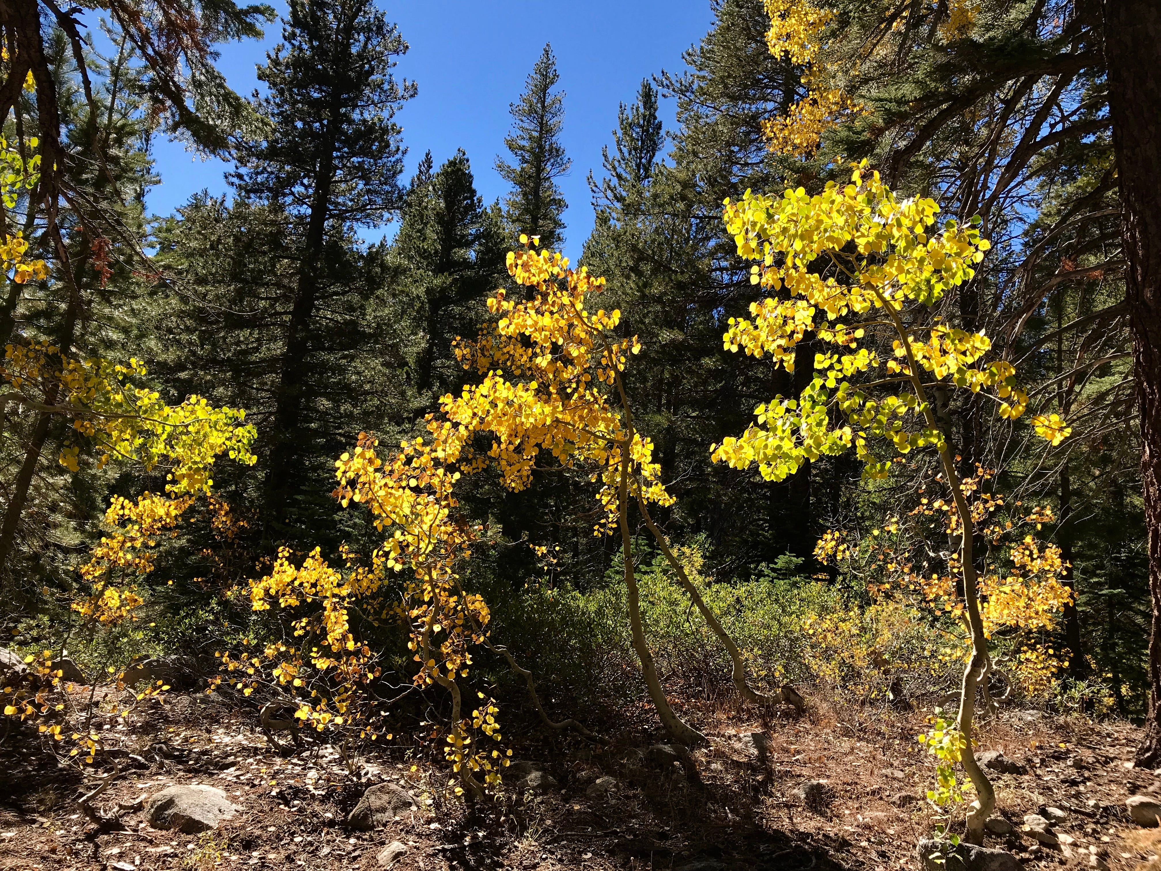 Fall colors along Mt. Rose Hwy. All photo were taken with a iPhone 7.