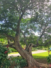 This old, damaged tamarind tree with the large crack in its branch is the perfect hangout for bats. Invite bats, which are natural Halloween decorations and efficient pest control operators to the landscape by installing bat houses and leaving needed habitat for roosting.
