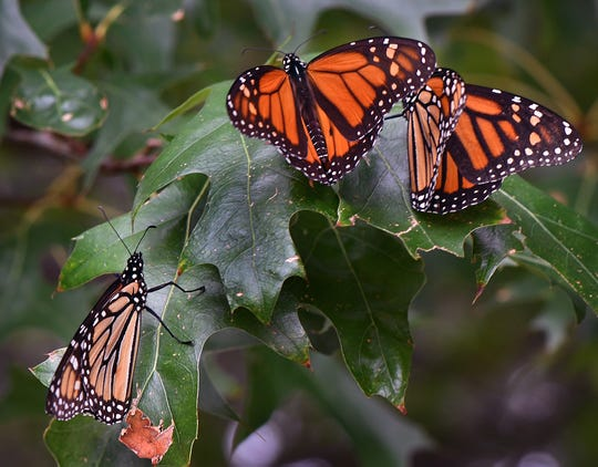 A group of Monarch butterflies rest in an oak tree in southwestern Wichita Falls Monday during their annual migration to Mexico.
