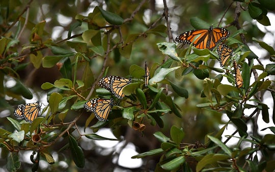 Monarch butterflies are on the move in North Texas traveling South from Canada and the Great Plains to their winter habitats in Mexico.