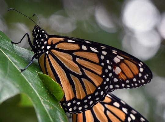 The pale orange underside of a Monarch butterfly's wings is visible when the insect is in a resting state.