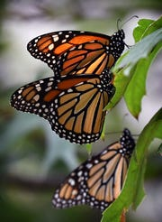Sunlight shines through the wings of Monarch butterflies as they rest in a tree in Wichita Falls Monday afternoon.