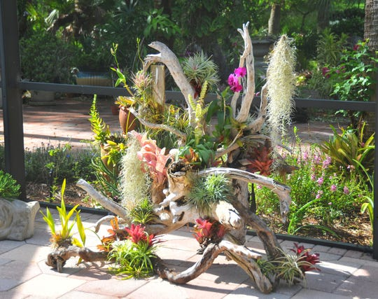 A large piece of driftwood with fireball bromliads with tillandsia and orchids. Don and Julie Herndon, owners of Classic Wood Flooring, have turned their Melbourne backyard and patio into a showpiece of Bromeliads and air plants mounted on driftwood, surrounded by other tropical plants and orchids.
