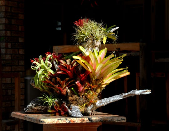 Bromeliads anbd air plants create a stilllife on a patio table. Don and Julie Herndon, owners of Classic Wood Flooring, have turned their Melbourne backyard and patio into a showpiece of Bromeliads and air plants mounted on driftwood, surrounded by other tropical plants and orchids.