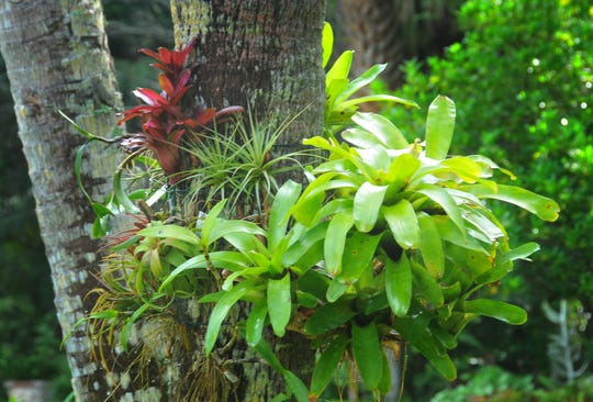 Orchids, tillandsias and bromeliads adorning a palm tyrere in the yard. Don and Julie Herndon, owners of Classic Wood Flooring, have turned their Melbourne backyard and patio into a showpiece of Bromeliads and air plants mounted on driftwood, surrounded by other tropical plants and orchids.