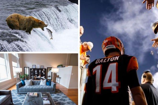 Bear, Cincinnati apartment, Andy Dalton.