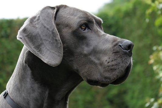 Doggenportrait