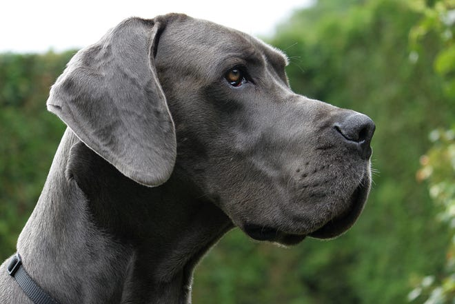 The homeowner's dog, a Great Dane, was shot and later put down due to injuries from the home invasion Oct. 8.