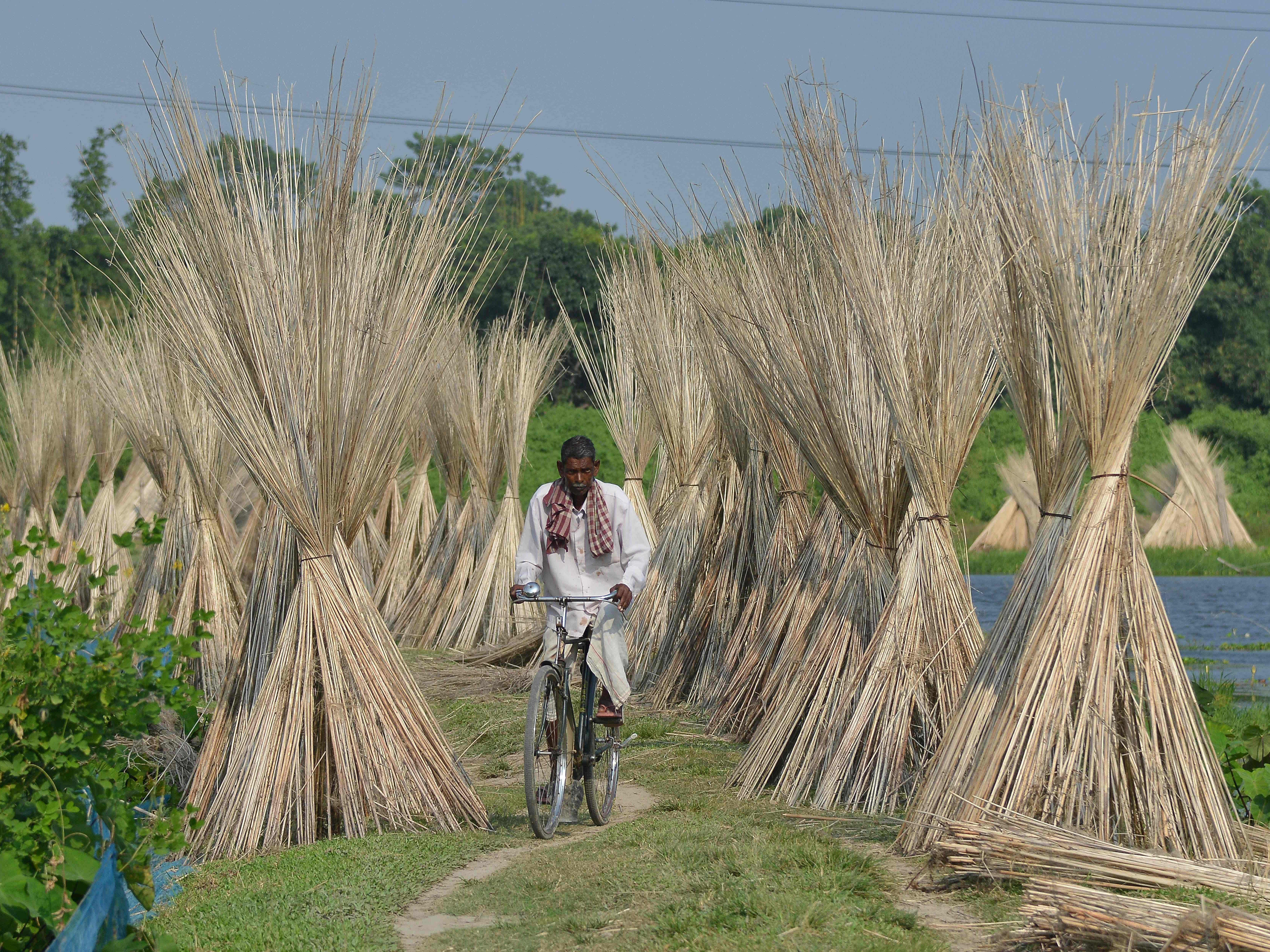 An Indian villager rides his bicycle past jute sticks, a fiber that can be spun into coarse strong threads, at Dolapani village in Sonitpur district in India's northeastern state of Assam, October 8, 2018.
