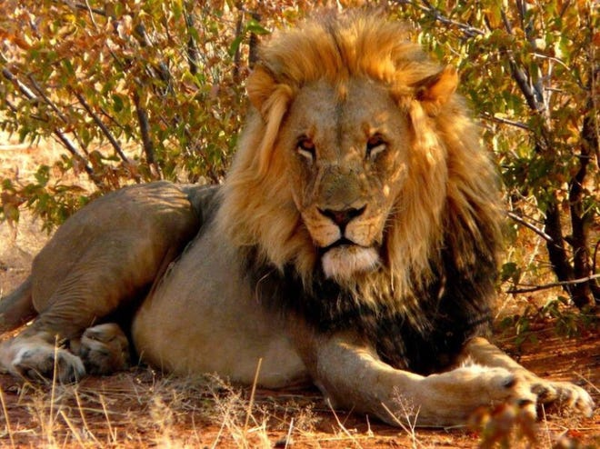 A lion in the African bush.