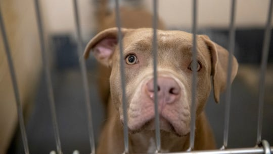 Adopt this dog, or one of hundreds of others, because Indianapolis' animal shelter is almost at capacity, and when it gets there, they'll have to euthanize some, Indianapolis, Tuesday, Oct. 9, 2018. Indianapolis Animal Care Services is located at 2600 S. Harding St.