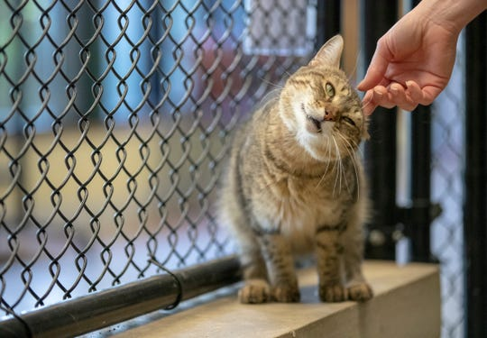Adopt this cat, or one of hundreds of others, because Indianapolis' animal shelter is almost at capacity, and when it gets there, they'll have to euthanize some, Indianapolis, Tuesday, Oct. 9, 2018. Indianapolis Animal Care Services is located at 2600 S. Harding St.