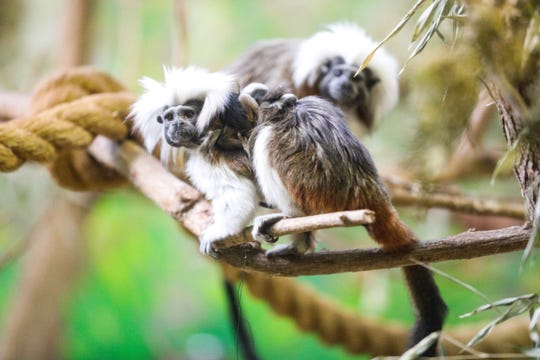 Potter Park Zoo announces the birth of twin critically endangered cotton-top tamarins on Monday Oct. 1, 2018.