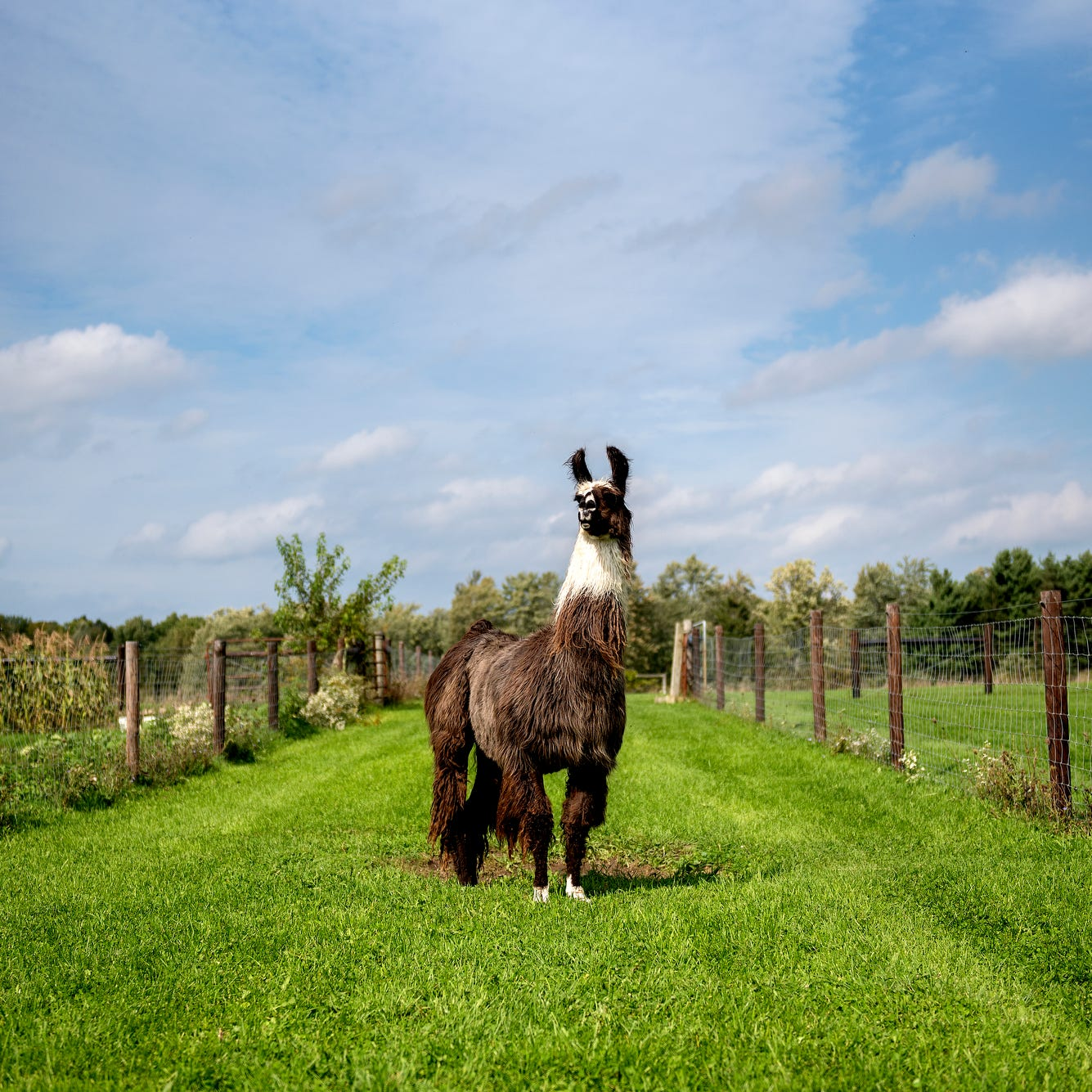 Willowicke Inn in Williamston is part llama farm, part bed and breakfast