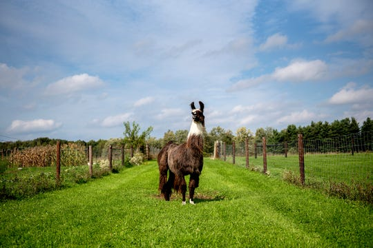 A llama stands in a field behind the Willowicke Inn Bed and Breakfast on Wednesday, Oct. 3, 2018, in Williamston.