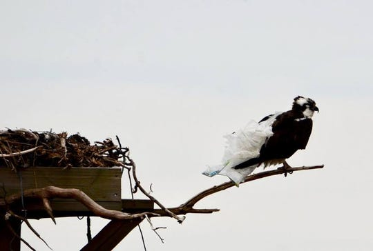 An osprey with a plastic bag wrapped around it at a nest in Bayville. Photographer Beverly Morris said the osprey and its mate tried for more than an hour to pull the bag off before succeeding.