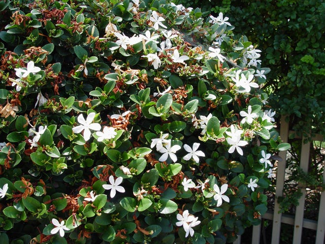Carissa macrocarpa, aka Natal Plum is the most reliably fragrant flower in the valley, resembling that of gardenia.