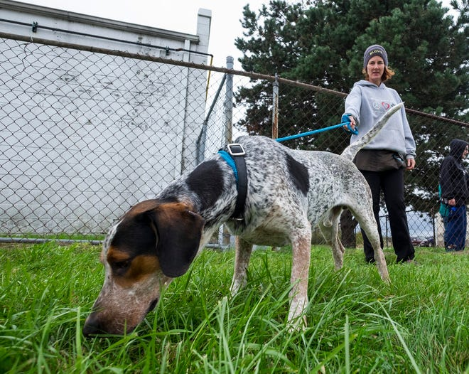 Jay, an adult Pointer, sniffs the grass while being walked by St. Clair County Animal Control volunteer Jody Dicks Thursday, Oct. 4, 2018 at the shelter. Animal Control is introducing an option to renew a dog license every three years, in coordination with your pet's rabies shots.