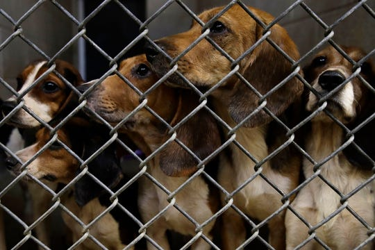 Rescued beagles peers out from their kennel at the The Lehigh County Humane Society in Allentown, Pa., Monday, Oct. 8, 2018. Animal welfare workers removed 71 beagles from a cramped house in rural Pennsylvania, where officials say a woman had been breeding them without a license before she died last month. (AP Photo/Matt Rourke)