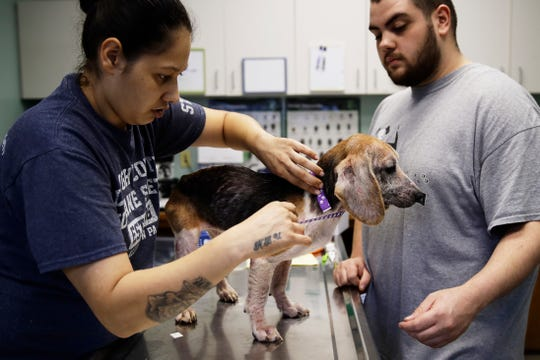 Veterinarian assistants Yanitsia Gonzales, left, and Nicola Feliciano examine a rescued beagle at the The Lehigh County Humane Society in Allentown, Pa., Monday, Oct. 8, 2018. Animal welfare workers removed 71 beagles from a cramped house in rural Pennsylvania, where officials say a woman had been breeding them without a license before she died last month. (AP Photo/Matt Rourke)