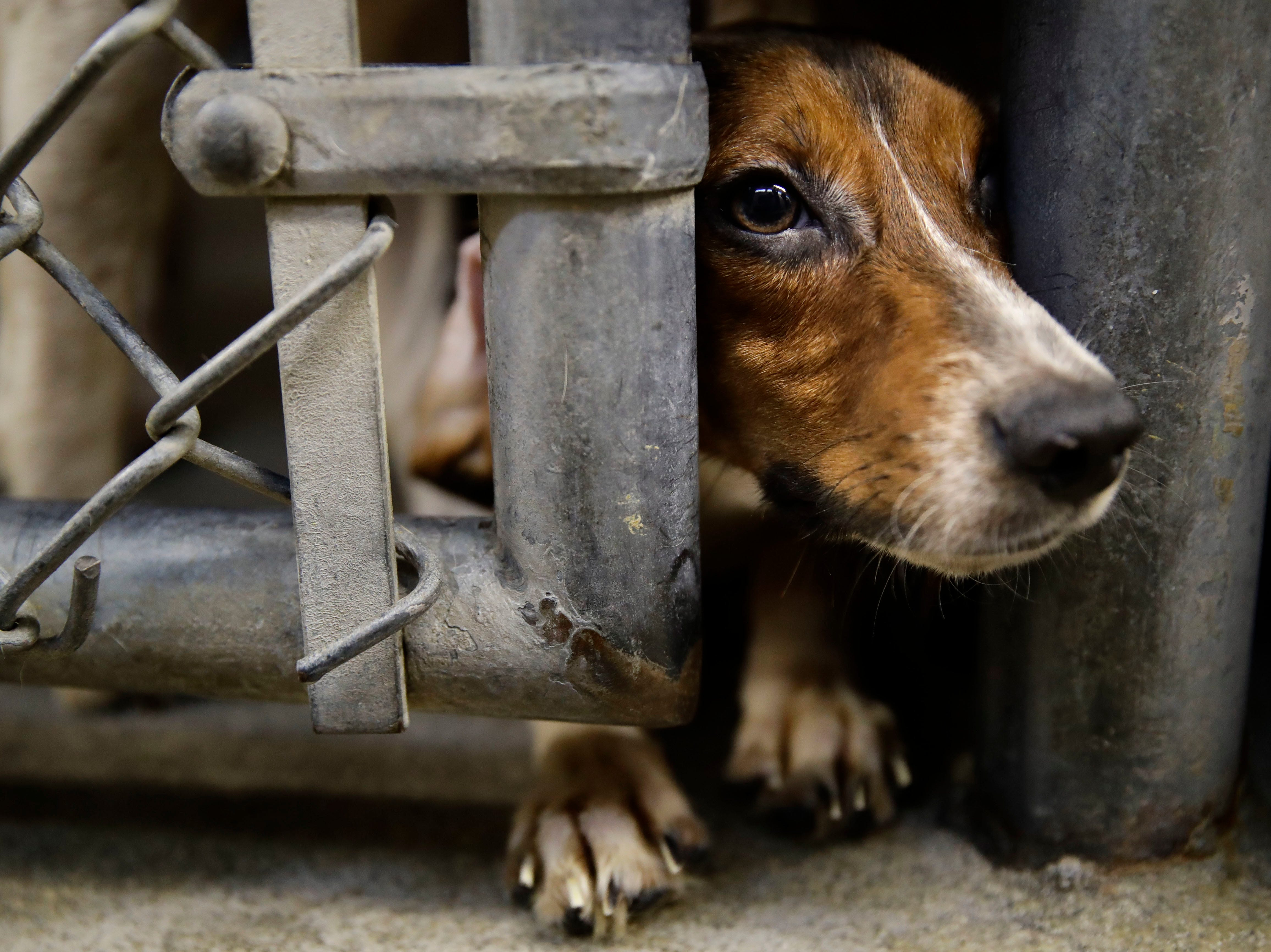 A rescued beagle peers out from its kennel at the The Lehigh County Humane Society in Allentown, Pa., Monday, Oct. 8, 2018. Animal welfare workers removed 71 beagles from a cramped house in rural Pennsylvania, where officials say a woman had been breeding them without a license before she died last month. (AP Photo/Matt Rourke)