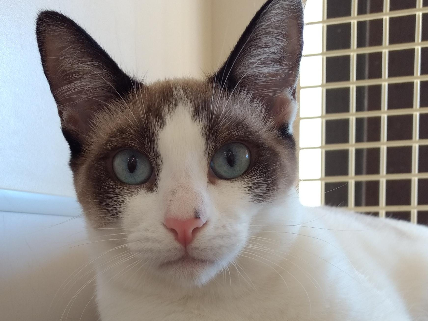 Meghan Markle is an 8-month-old Siamese mix kitten. She gets along with other cats and is a sweet, calm and gentle kitty. All animal adoptions include spaying or neutering and vaccinations. Apply with Another Chance Animal Welfare League at www.acawl.org. Call 356-0698.