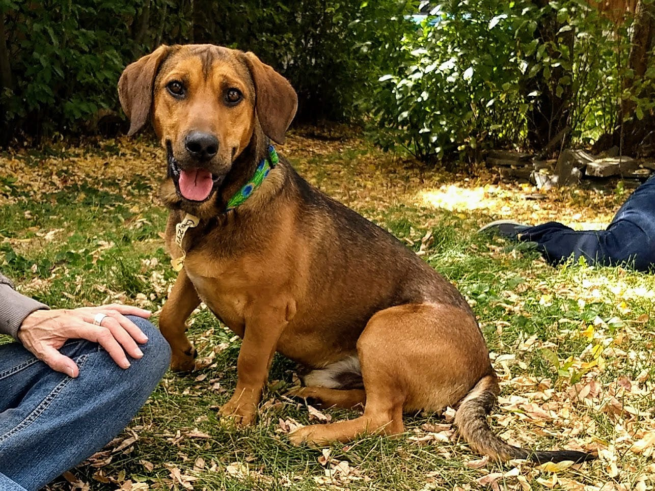 Max is a 1- to 2-year-old, 47-pound basset hound, Belgian shepherd and Malinois mix. He gets along with other dogs, cats and kids. Before rescue, he was left in an outdoor pen and is now afraid of being crated. He's microchipped, up to date on vaccinations and heartworm negative. Call SNIPPP at 336-6006. Go to www.snippp.org.