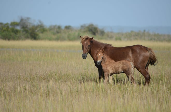 """Assateague mare N6BMT-F """"Jojo"""" is pictured with her new foal, N6BMT-FQ, which was born in September."""
