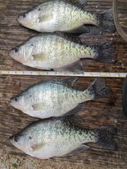 Some big fall crappie caught from Bull Shoals while using small white jigs near Beaver Creek.