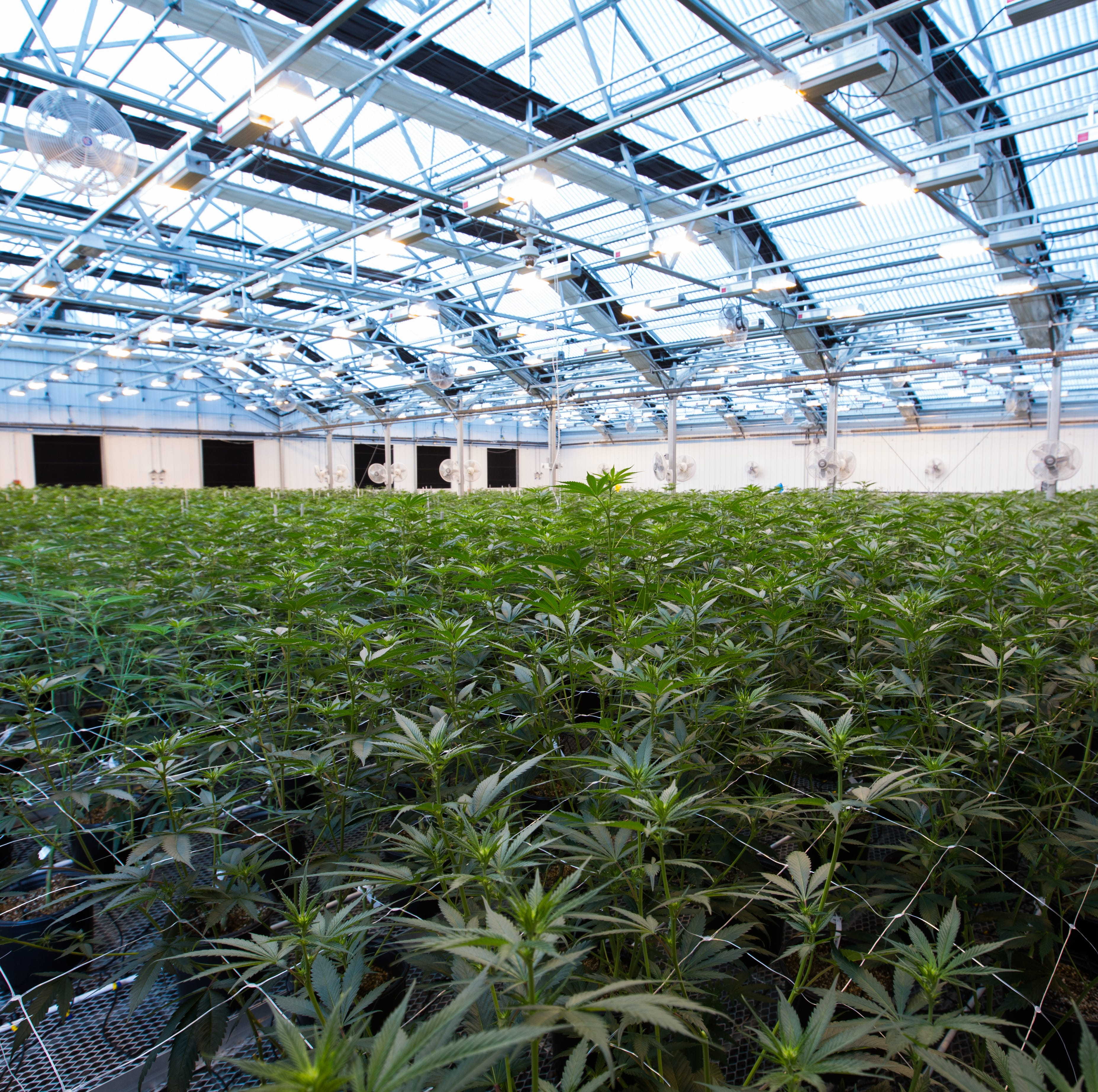 The business of growing pot, legally