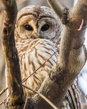 Golden Owl, a photograph by Bill Golden, is part of a new exhibition on wildlife at the Rockefeller State Park Preserve.
