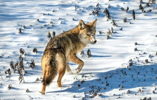 Coyote in the Snow is a photography by Jeff Seneca. It's part of a new exhibit on wildlife at the Rockefeller State Park Preserve.